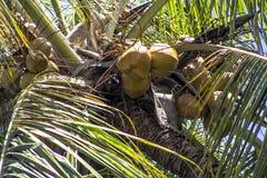椰子种植园 免版税库存图片