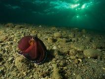 椰子章鱼 库存照片