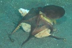 椰子章鱼 免版税库存照片