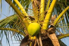 椰子绿色结构树 免版税库存图片