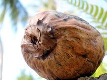 椰子脱水了 免版税图库摄影