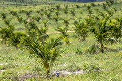 椰子领域 库存照片