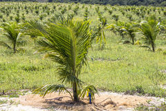椰子领域 免版税库存图片