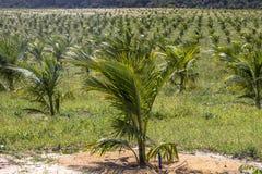 椰子领域 图库摄影