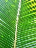 椰子绿色叶子 库存照片