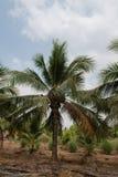 椰子绿色结构树 免版税库存照片