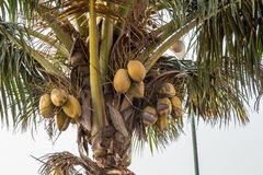 椰子 免版税图库摄影