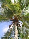 椰子palmtree Domenican共和国 Punta Cana 库存照片