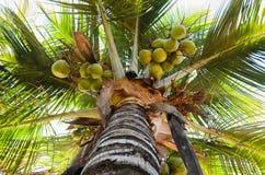 椰子tre 免版税库存照片