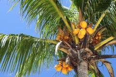 椰树可可椰子结构树 免版税图库摄影