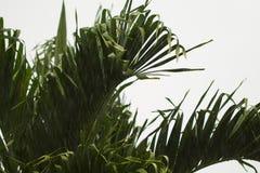 椰树在白色多云天空背景的棕榈叶特写镜头 免版税库存图片