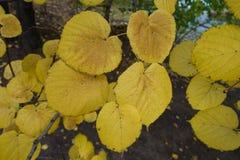 椴树叶子在10月 库存照片