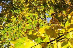 椴树在秋天 库存图片