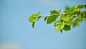 椴树年轻,新鲜的春天叶子  库存图片