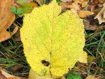 椴树的下落的叶子 库存照片