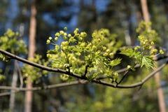椴树第一朵绿色叶子和花在被弄脏的背景的在一个水平的版本 免版税图库摄影