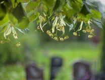 椴树花和叶子在坟墓被弄脏的背景的  免版税库存图片