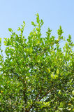 椴树 免版税库存图片
