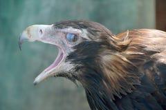 楔子被盯梢的老鹰天鹰座audax 库存照片