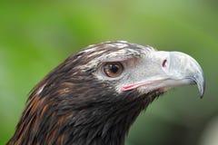 楔子被盯梢的老鹰(天鹰座Audax) 库存照片