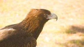 楔子被盯梢的老鹰 库存照片
