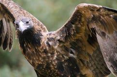 楔子被盯梢的老鹰 免版税库存照片