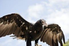 楔子被盯梢的老鹰 免版税库存图片