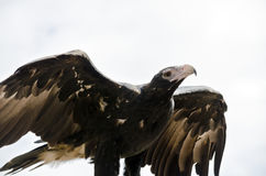 楔子被盯梢的老鹰 库存图片