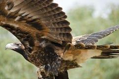 楔子被盯梢的老鹰 图库摄影