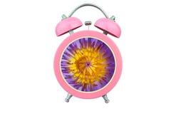 概念性艺术时间放松:在白色背景隔绝的桃红色闹钟内的waterlily紫色花粉 库存图片