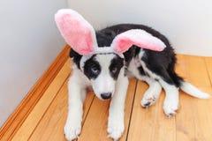 概念愉快的复活节 在家佩带复活节兔子耳朵的逗人喜爱的smilling的小狗博德牧羊犬滑稽的画象室内 免版税图库摄影