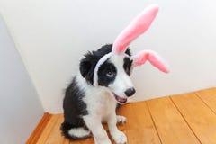 概念愉快的复活节 在家佩带复活节兔子耳朵的逗人喜爱的smilling的小狗博德牧羊犬滑稽的画象室内 免版税库存图片