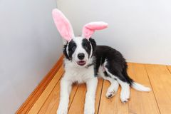 概念愉快的复活节 在家佩带复活节兔子耳朵的逗人喜爱的smilling的小狗博德牧羊犬滑稽的画象室内 库存图片