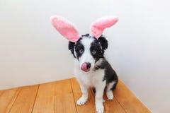 概念愉快的复活节 在家佩带复活节兔子耳朵的逗人喜爱的smilling的小狗博德牧羊犬滑稽的画象室内 库存照片