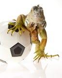 概念橄榄球鬣鳞蜥 免版税库存图片