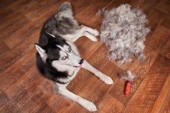 概念每年蜕变,流洒的外套,蜕变的狗 在木地板上的西伯利亚爱斯基摩人谎言在堆羊毛和红色耙机刷子旁边 图库摄影
