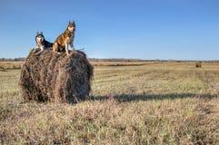 概念狗走 西伯利亚爱斯基摩人坐被收获的农田的干草堆 黑白多壳的狗和红颜色 库存照片