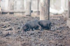 概念疾病流感维护预防措施猪 两小和无防御 免版税图库摄影