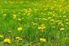概念蒲公英生气勃勃草甸和平平静有用春天的主题 免版税库存照片