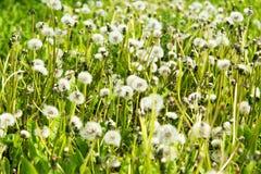 概念蒲公英生气勃勃草甸和平平静有用春天的主题 免版税库存图片