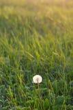 概念蒲公英生气勃勃草甸和平平静有用春天的主题 库存图片