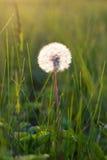 概念蒲公英生气勃勃草甸和平平静有用春天的主题 库存照片