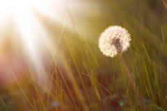 概念蒲公英生气勃勃草甸和平平静有用春天的主题 图库摄影
