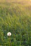 概念蒲公英生气勃勃草甸和平平静有用春天的主题 免版税图库摄影