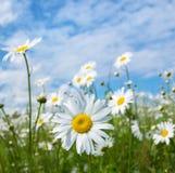 概念雏菊草甸本质纯度 库存图片