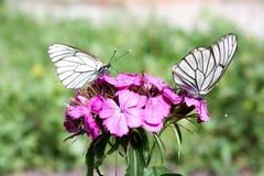 概念饮食 一只白色蝴蝶 免版税库存照片
