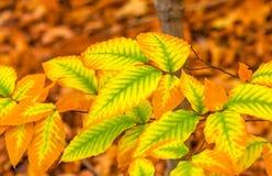 榆木与精采明亮的颜色的秋天folliage 库存照片