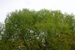 榆木冠 图库摄影