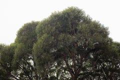 榆木冠 免版税库存照片