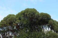 榆木冠 库存照片